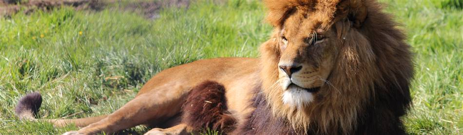 Lion at KNowsley Safari Park in Cheshire